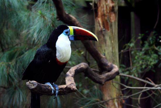 Тукан из джунглей Амазонки, в точности такие они там и есть. by hdc from flickr.com