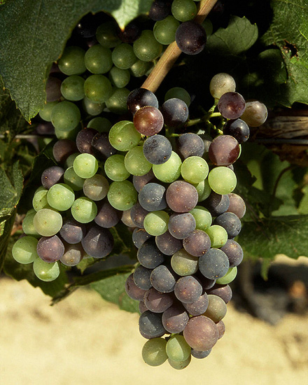Пойякские виноградники и не только. От бокала к бокалу…