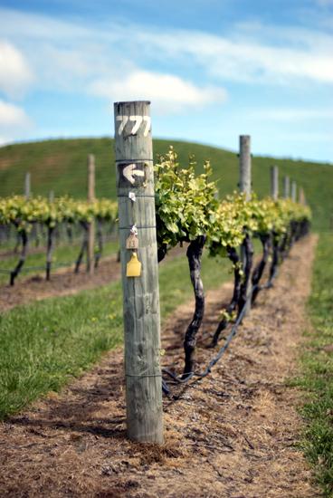 Виноградники Новой Зеландии