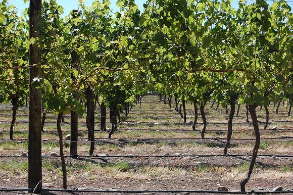 Виноградники в Хоукс-Бэй, Новая Зеландия. Фото: superkimbo/flickr.com